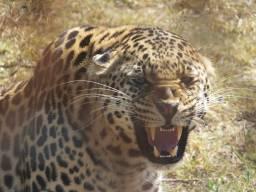 Leopard-snarlWEB