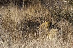 Lion in Grass cropped.jpg