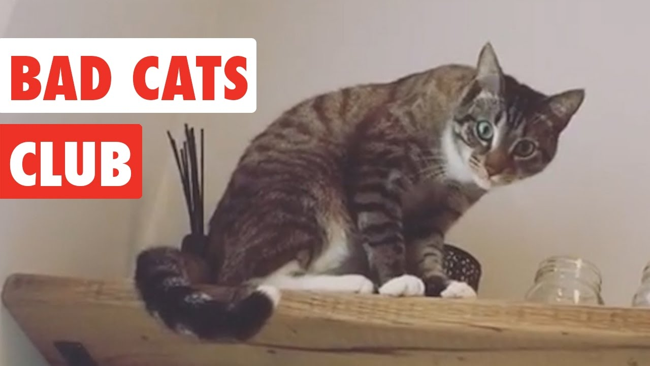 Bad Cats Club | Funny Cat Video Compilation 2017